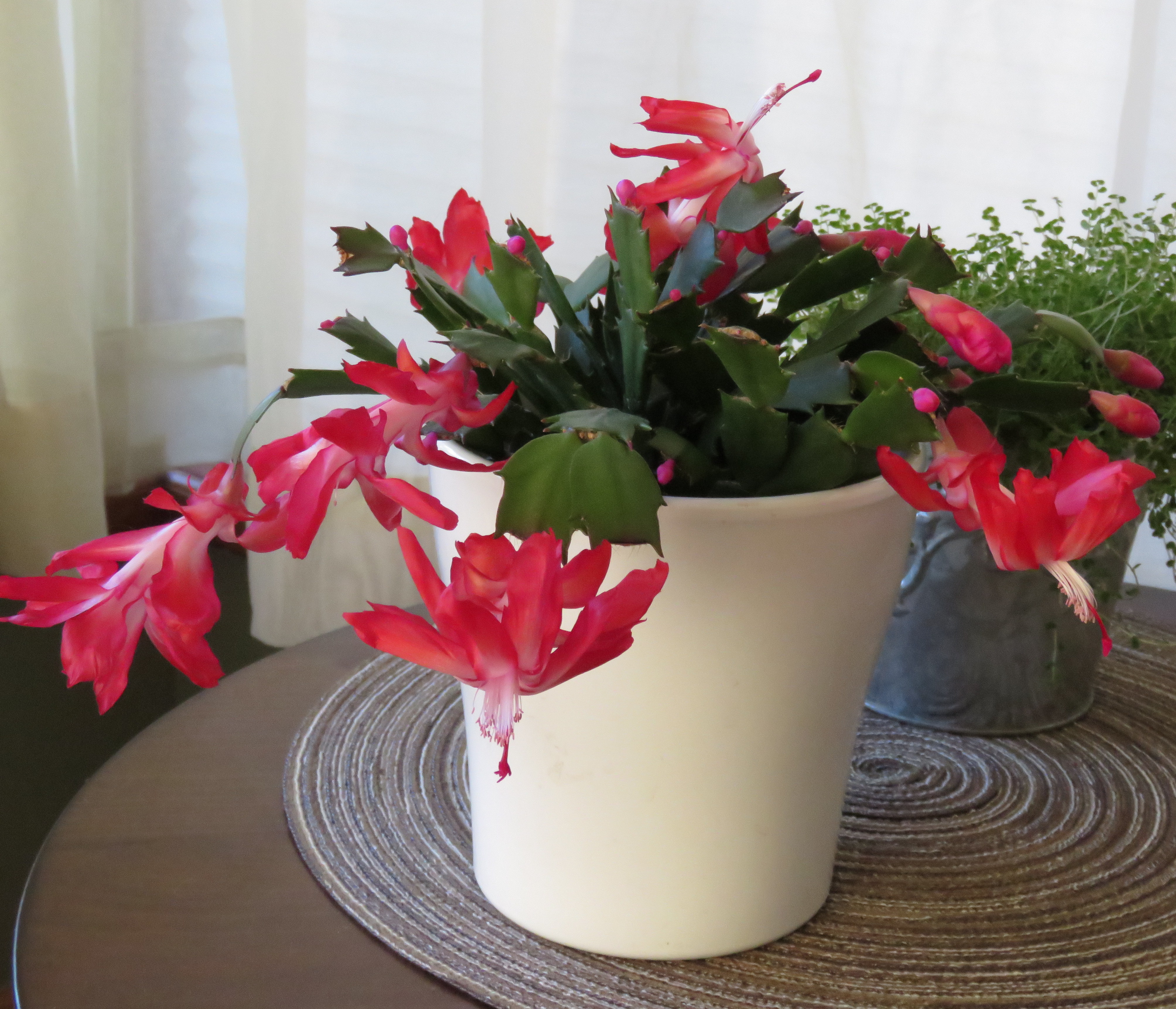 Christmas Cactus_cropped
